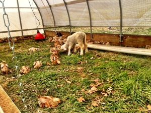 The lamb is going to start thinking she's a chicken