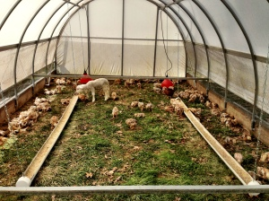 Inside the chicken house