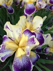 My favorite irises