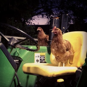 Roosting on the tractor
