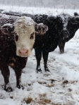 The cows are not amused by the weather