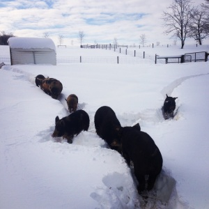 The snow was too deep for the pigs so they made tracks from their huts to the feeder and didn't stray from them.