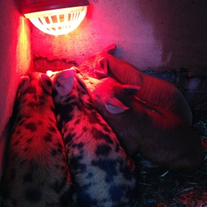 Piglets huddling under their heatlamp